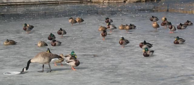 Geese and ducks on the ice.