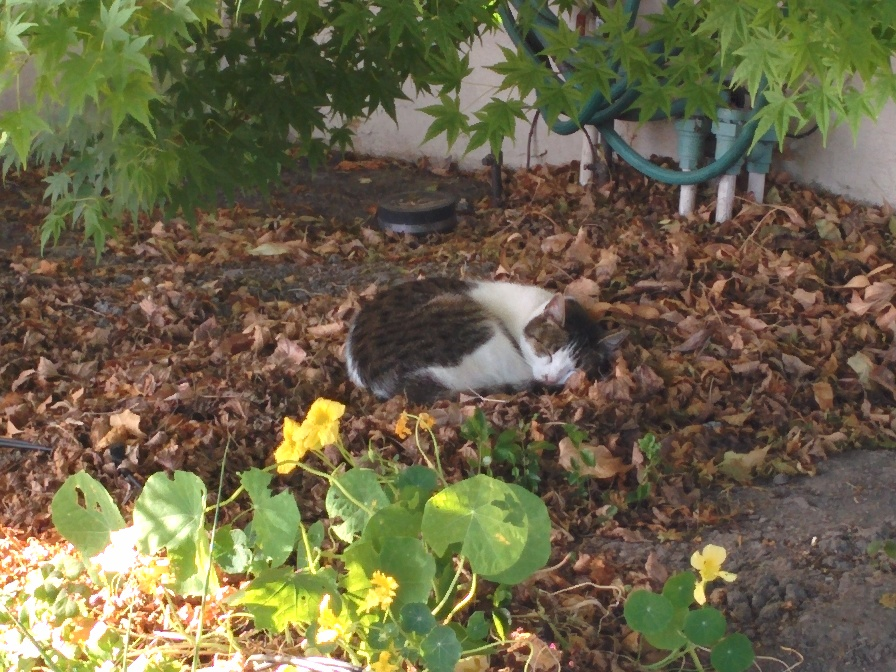 Maxwell napping in the front yard in June.