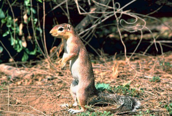 Xerus: an African ground squirrel.